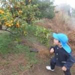 オレンジ採る